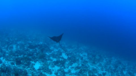 Eagle ray flying over the reef in the Maldives