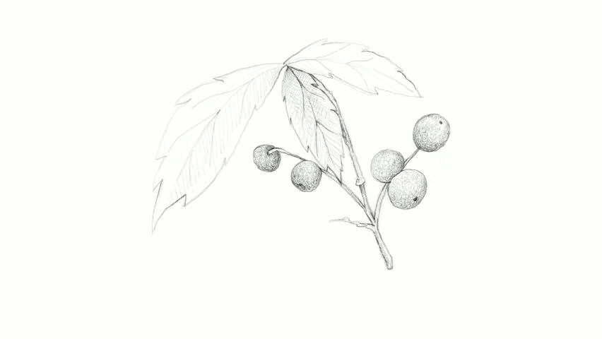 Berry Fruits, Motion Clip of Illustration Hand Drawn Sketch of Allophylus Edulis or Chal-Chal Fruits Hanging on The Bunch Isolated on White Background.