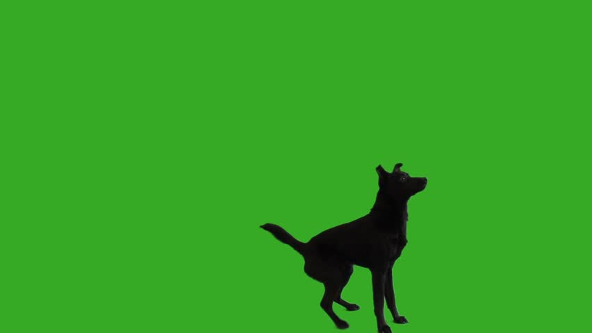 funny black mongrel dog stands on its hind legs on a green screen #1009775006