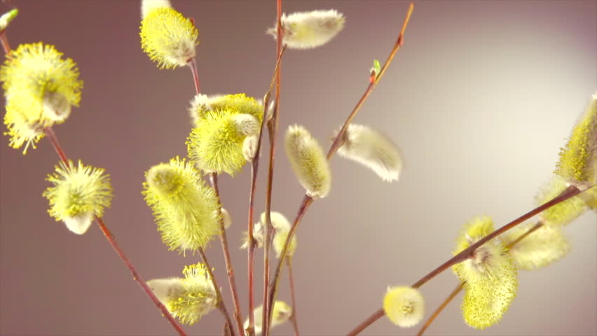 Pussy willow with opening fluffy yellow buds timelapse. Blooming spring willow flowers time-lapse Close-up. 4K UHD video time lapse