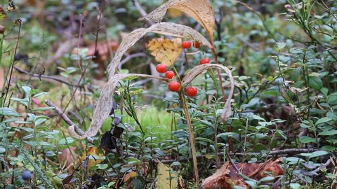 Autumn lilies of the valley (May lily, Convallaria majalis) with red berries in Northern forest. In background blueberry (Vaccinium myrtillus) bushes with blue berries
