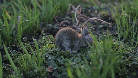 gray rabbit eating grass , Bunny gray