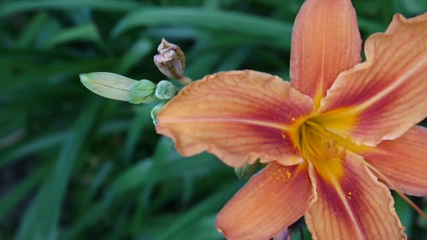 Orange plant Lilium bulbiferum details close-up HD footage - Herbaceous tiger lily flower video.