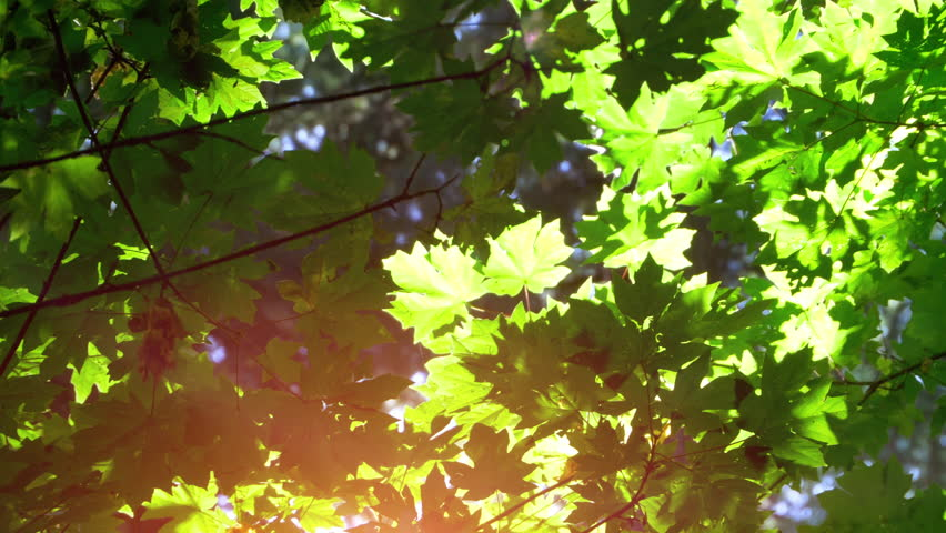 Nature Maple Leafs Forest Sun Morning Light Background | Shutterstock HD Video #1009894076
