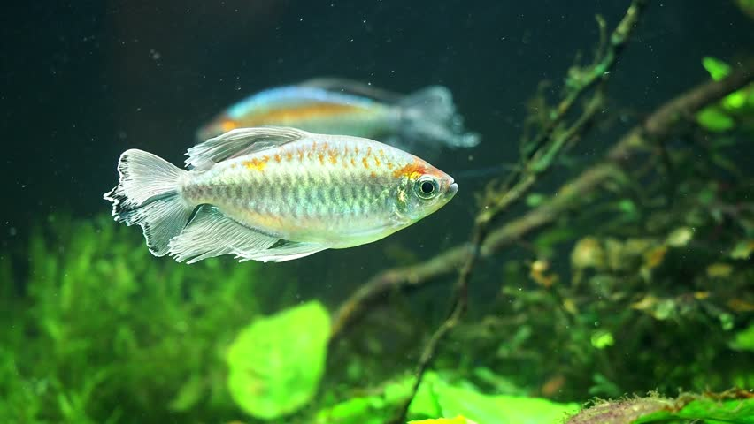 Congo tetra, (Phenacogrammus interruptus) fish in the aquarium