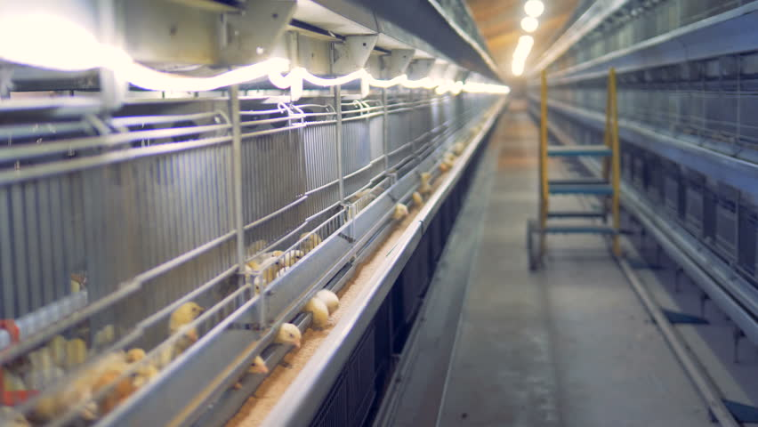 Passway of a henhouse premises with chickens in cages | Shutterstock HD Video #1009933916
