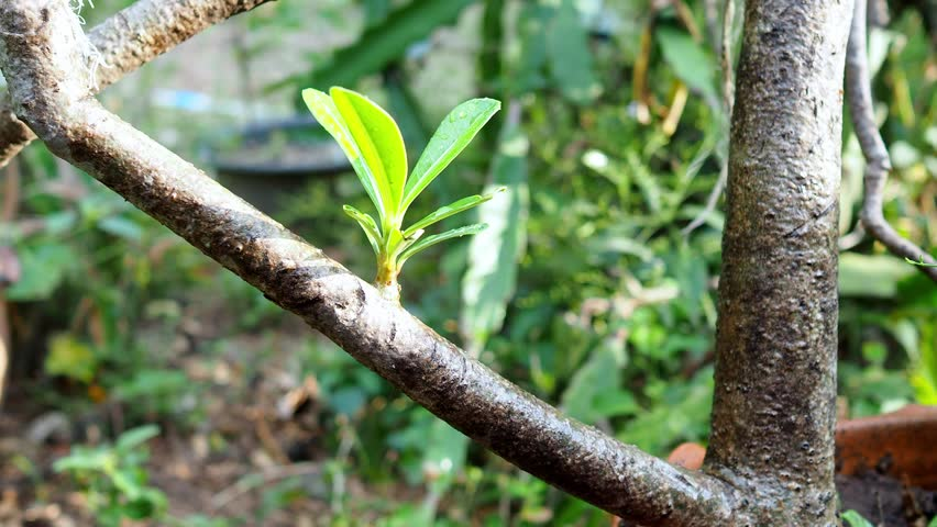 Beautiful adenium young leaves.   Shutterstock HD Video #1009962986