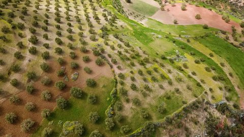 olive fields in Morocco in aerial view