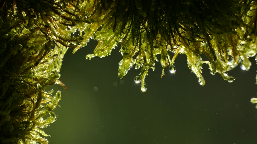 Drops of water flow from the moss in the forest. The rays of the sun glint in droplets on the moss. View from the cave. Green background. | Shutterstock HD Video #1010037266