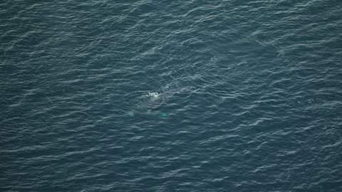 Aerial view of Humpback whales Megaptera novaeangliae swimming Northern Pacific ocean waters Alaska USA