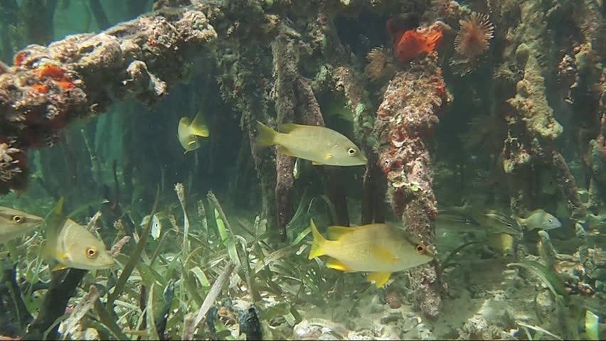 Underwater mangrove roots with tropical fish, Caribbean sea, Bocas del Toro, Panama, Central America | Shutterstock HD Video #1010061446
