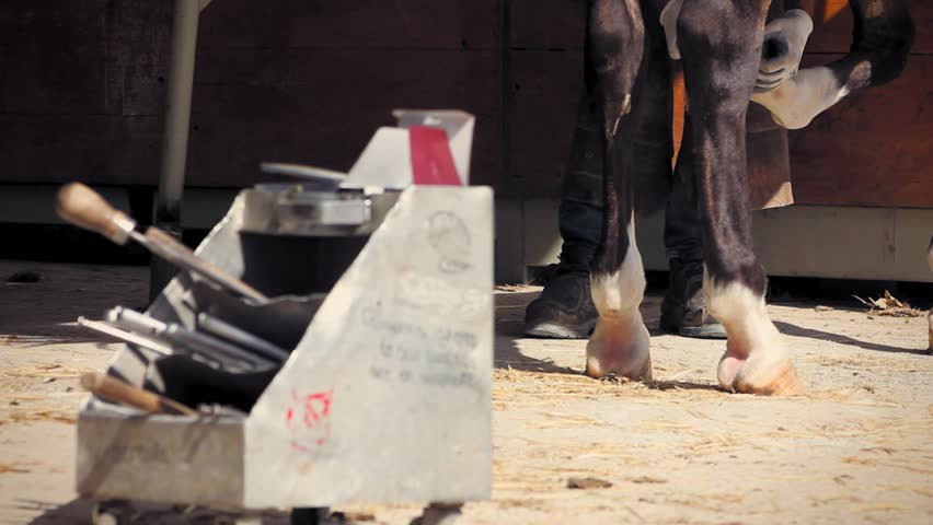 Farrier checking the size of the shoe to its hoof.