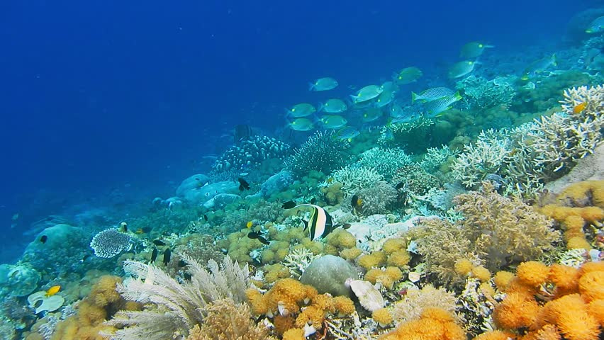 Intact coral wall with high density of reef fish. Moorish Idol | Shutterstock HD Video #1010121956
