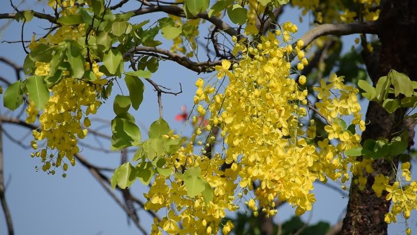 Indian laburnum ( Cassia fistula ) in garden.