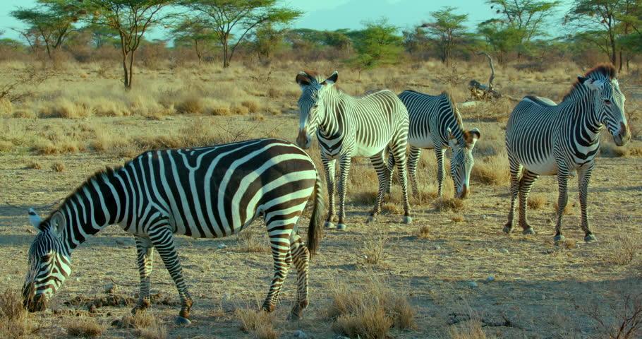 Grevy'S Zebras Observing & Burchell'S Zebra Grazing; Samburu Kenya Africa