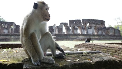Macaque monkeys have sex on the background of old town