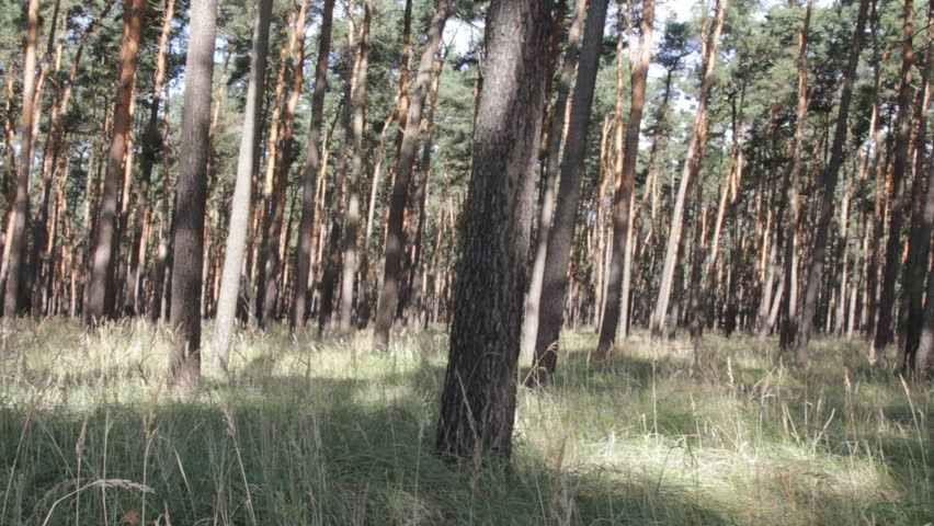 Summer day in pine forest. Transparent pinewood with dappled sunlight. Thickets of cereals among trees - grass pine forest, littoral area