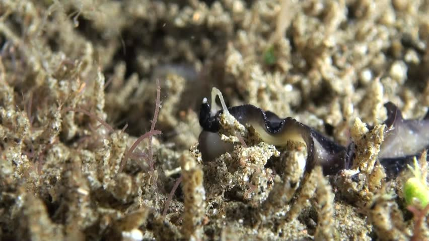 Flatworm With Skeleton Shrimps (Caprellidae) - Philippines | Shutterstock HD Video #1010207696