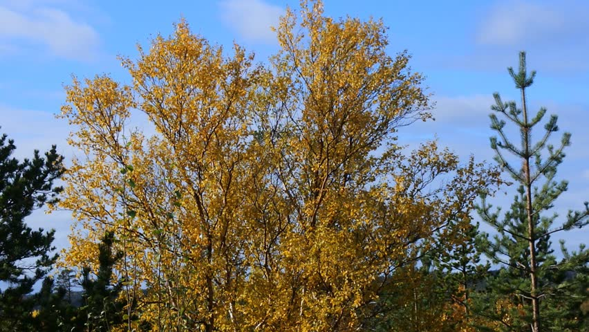 Height of fall in Northern forests. Mixed forest in yellow leaves spots