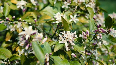 Bees collect pollen from the lemon tree, the lemon tree blooms
