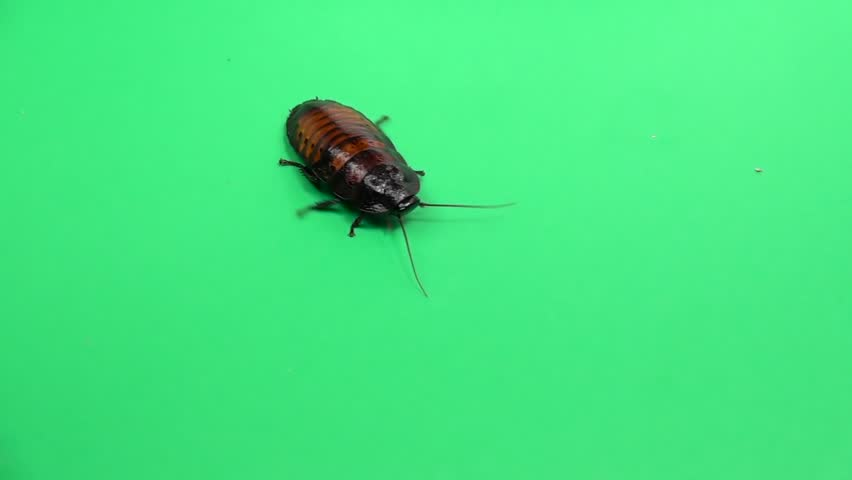 Cockroach crawls . Green screen. Slow motion | Shutterstock HD Video #1010276036