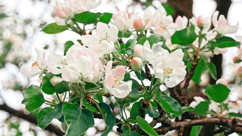 Apple trees flowers. the seed-bearing part of a plant, consisting of reproductive organs (stamens and carpels) that are typically surrounded by a brightly colored corolla (petals)