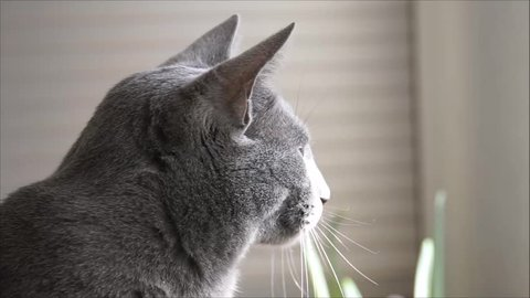 Russian Blue cat listening and watch out