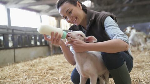 Breeder woman feeding lamb with baby bottle