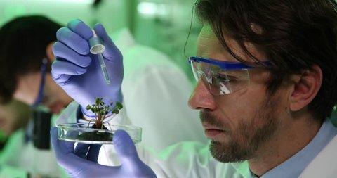 Biologists Man Pipetting Irrigate Radish Seedlings University Laboratory Studies