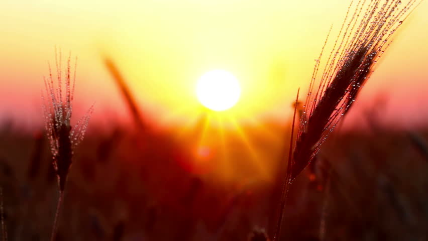 sunset. rain drops on the ear of wheat. #1010369486