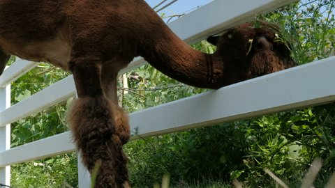 brown alpaca in the alpaca farm