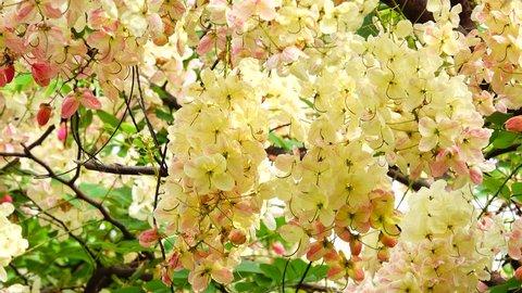 4K White nealiae ainbow cassia fistula floer garden.