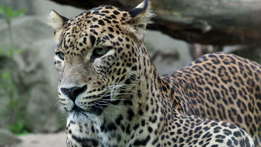 4k0012ceylon Leopard Panthera Pardus Kotiya Beautiful Animal And