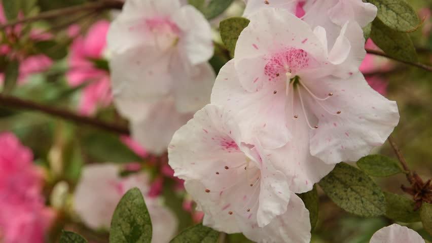 white Azaleas (Rhododendron) flowers in springtime. 4K UHD Nikon D500