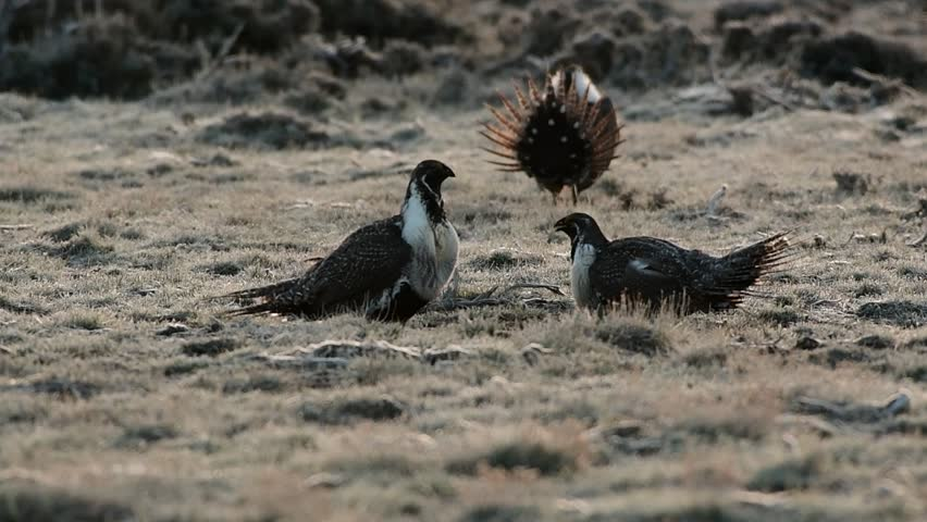 Greater Sage-Grouse Fighting