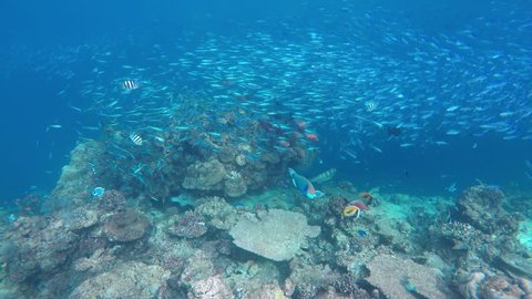 a huge flock of fish (variable-lined fusilier) in a coral reef