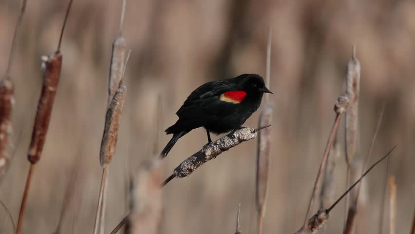 A male Red-winged Blackbird perched on a Cattail with mating call