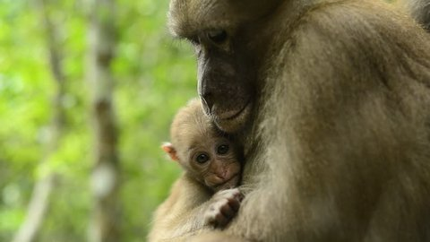 Male Monkey  in nature, Cute funny big Assam macaque in nature