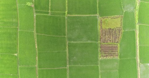 Aerial view of rice terrace. Flight over rice field, Asia, Bali