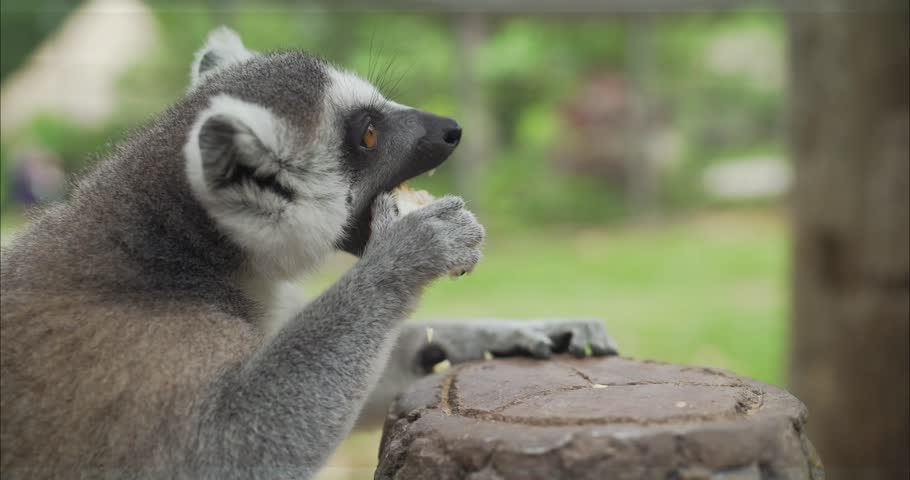 Lemurs eat at the zoo. Lemur eats. Lemurs take food. Funny lemurs eat food.