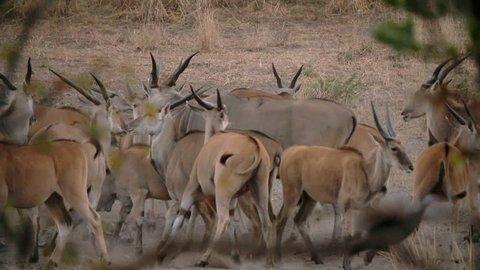 kudu deer in africa