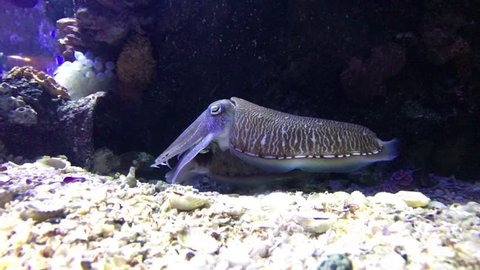 A couple of cuttlefish mating and moving together