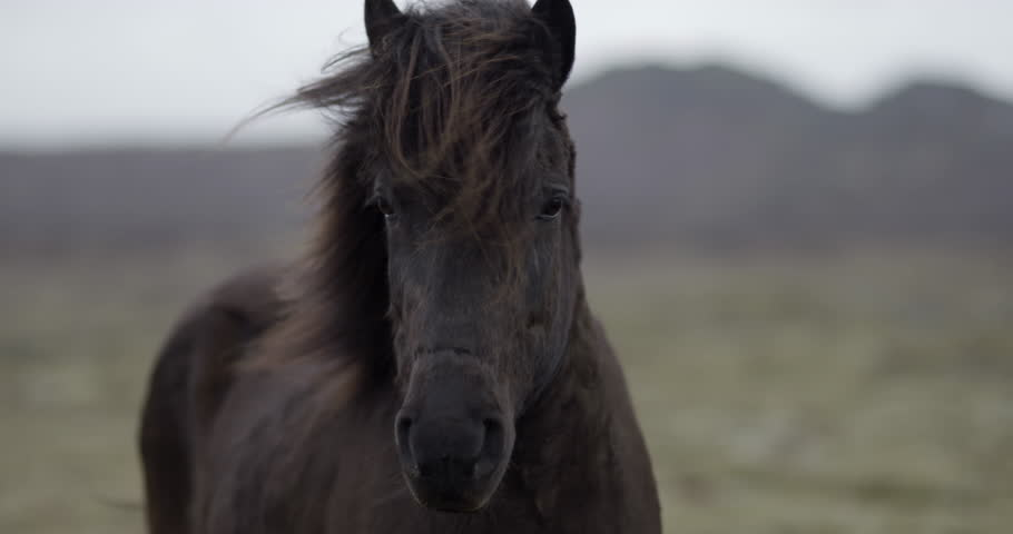 Slow motion medium shot of black horse looking into the camera in the Icelandic countryside #1010724686