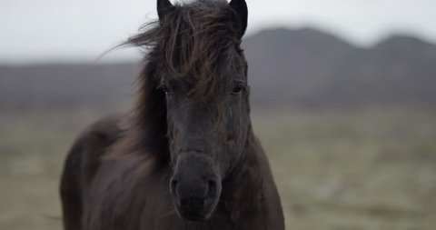 Slow motion medium shot of black horse looking into the camera in the Icelandic countryside