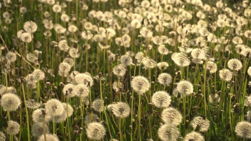 field of dandelions flowers