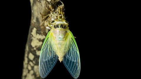 Emergence of cicadas. From first to last.
