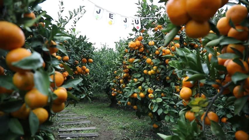 Tangerine Farm in winter in Jeju Island.