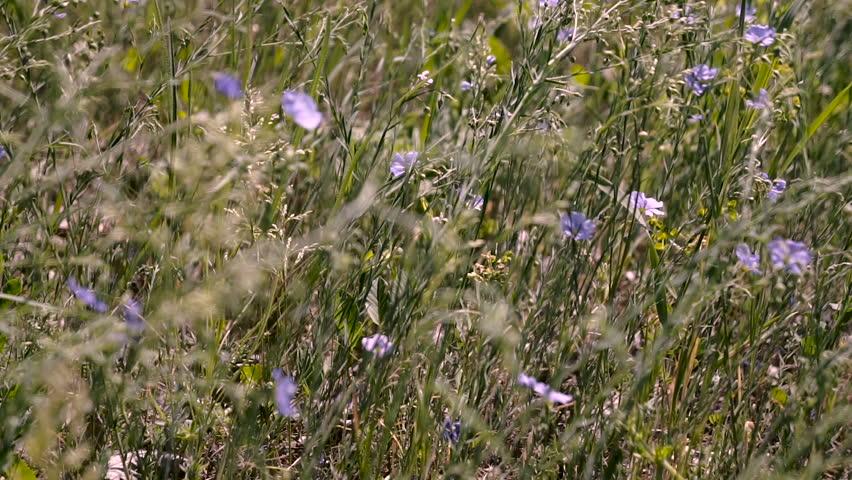Blue wildflowers of Veronica chamaedrys