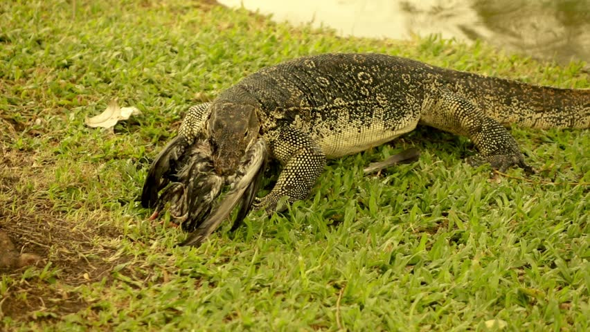 Monitor lizard eating dead pigeon, super slow motion.