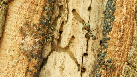 Ants (Formica subsericea) tend Tuliptree Scales (Toumeyella liriodendri) on the side of a Tuliptree for their sugary secretion of honeydew.